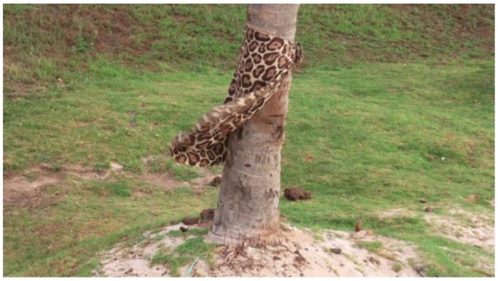 Marco Montiel-Soto, Tela Leopardo (Rapa Nui), 2013, video, 1:07 min. Una tela con motivos de piel de leopardo está sujeta a una palmera de coco para no volarse con el viento